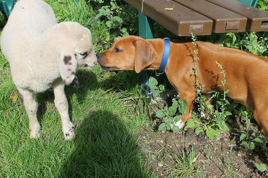 Ridgeback Welpe und Schaf