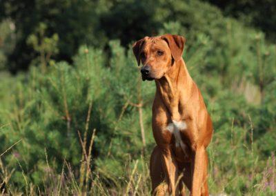Rhodesian Ridgeback Mimi